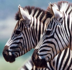 It's hard to sneak up on a Zebra. They'll hear you and run.